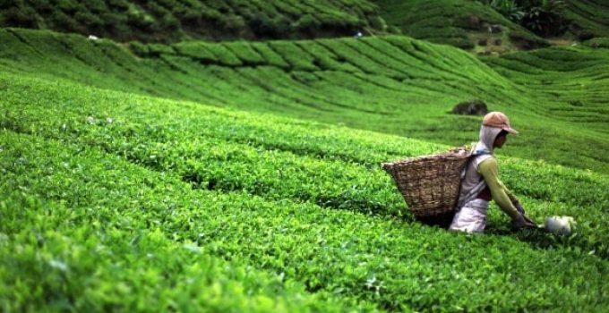 Impact du Covid 19 sur le marché des feuilles de thé vert